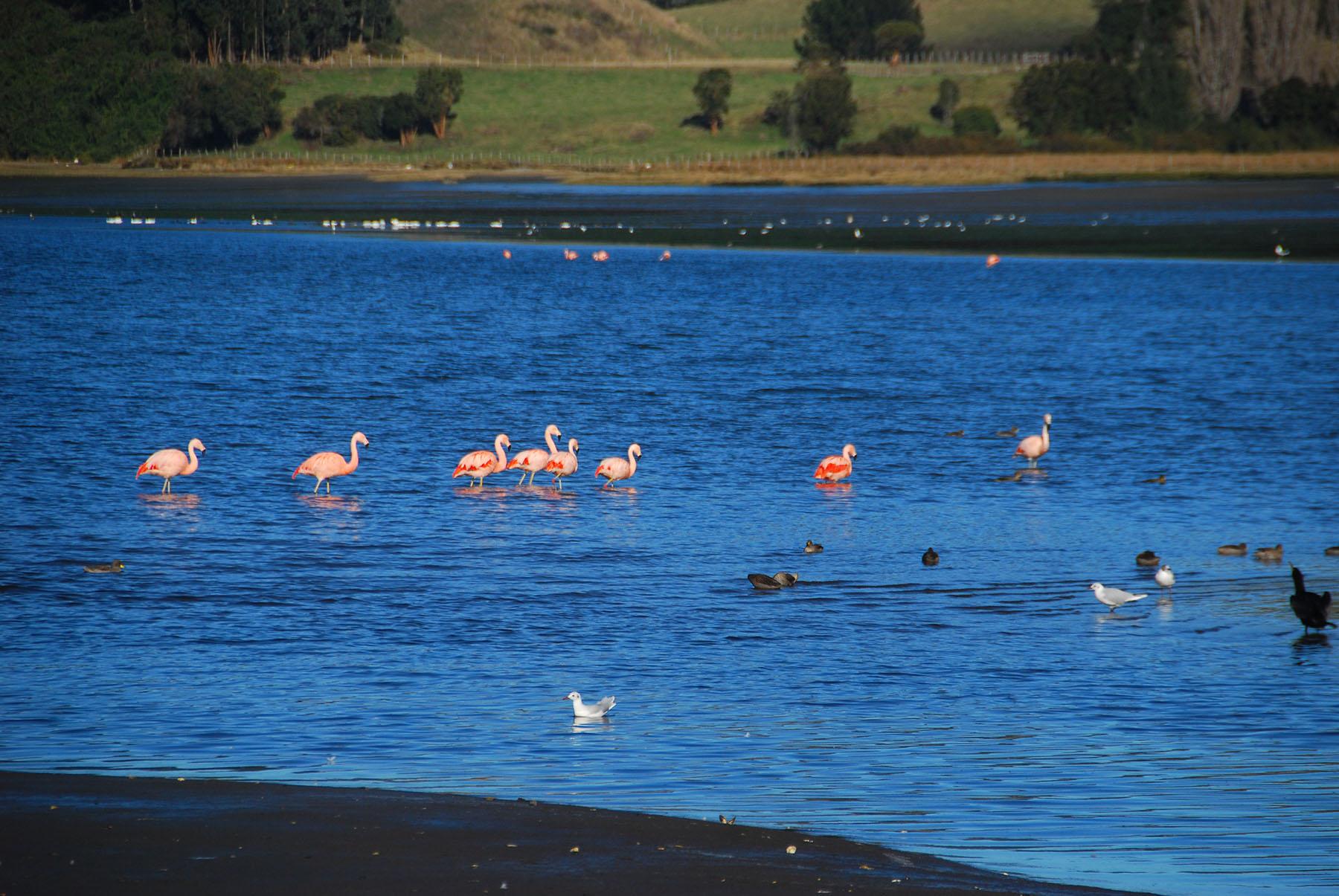 Flamingo Chiloé Chile