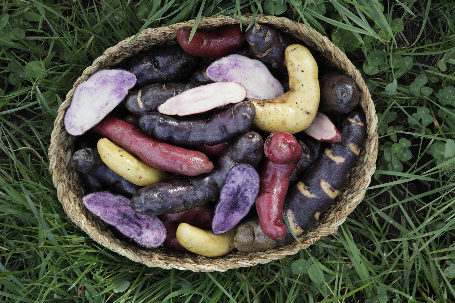Native Potatoes Chiloe Chile
