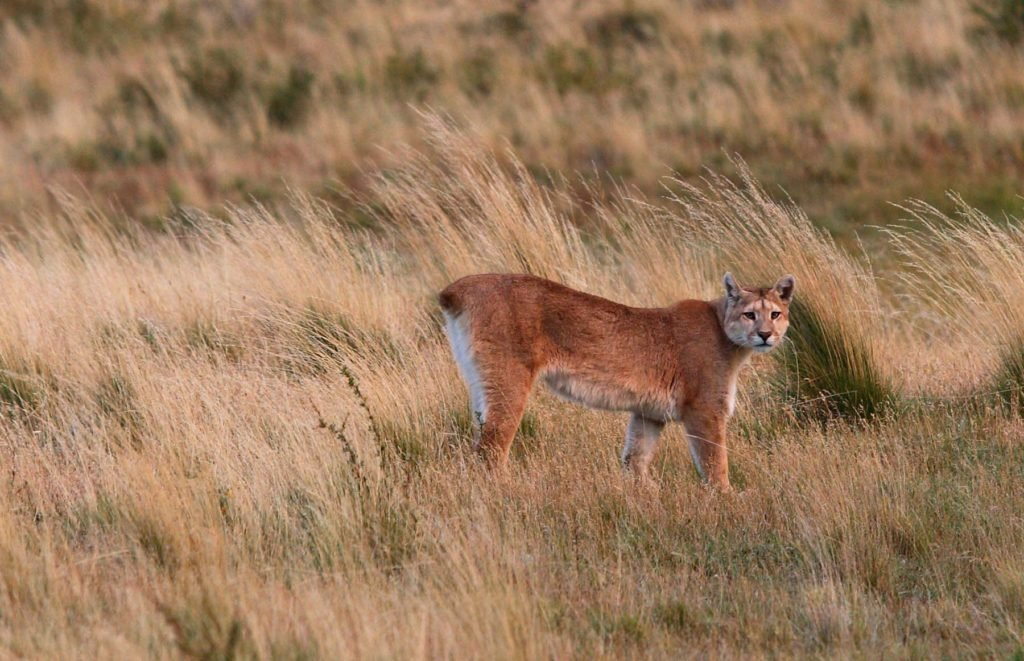 Female puma at the Torres del Paine National Park