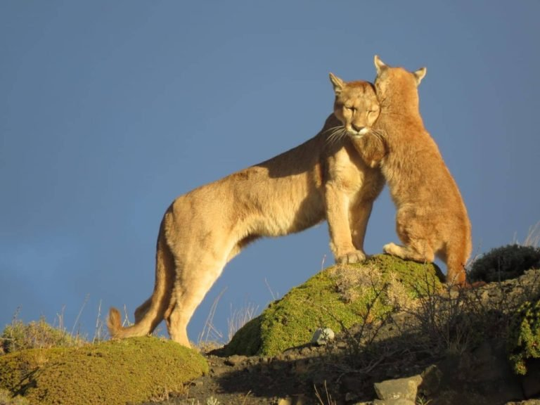 10 Fun Facts about the Patagonian Puma - Tierra Hotels