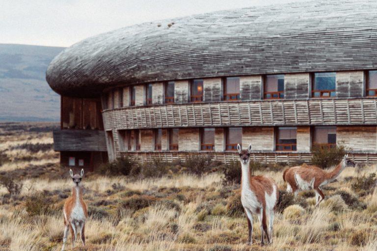 Guanacos Tierra Patagonia