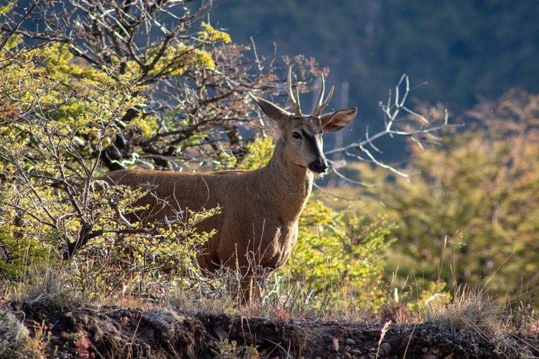 1200px-Huemul_Parque_Nacional_Patagonia